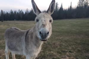 A donkey facing the camera