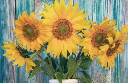 Five large yellow sunflowers grouped in a white vase in front of a blue wooden wall