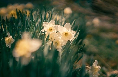 Pale yellow daffodils and green stems with blurred background