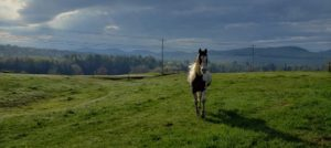 Single brown and white horse walking in a large pasture of green grass with mountain range behind